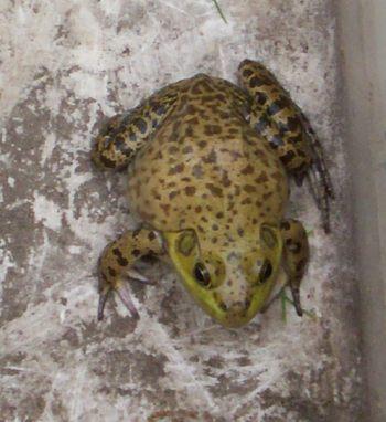 frog32.jpg